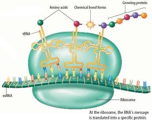 Grafische weergave van het proces van eiwitsynthese om het belang van het aminozuurprofiel te duiden.